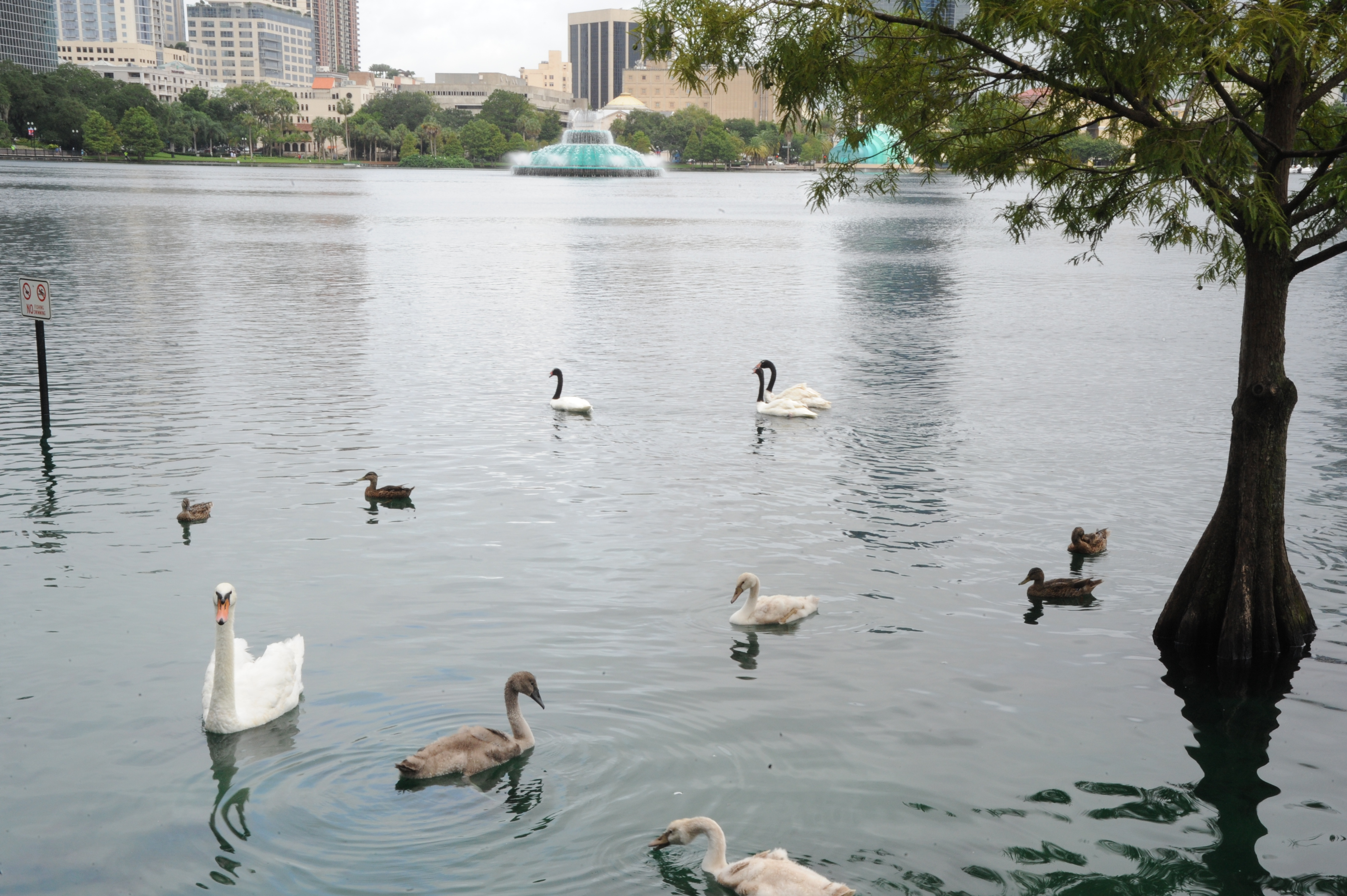 Different Lake Eola Swans