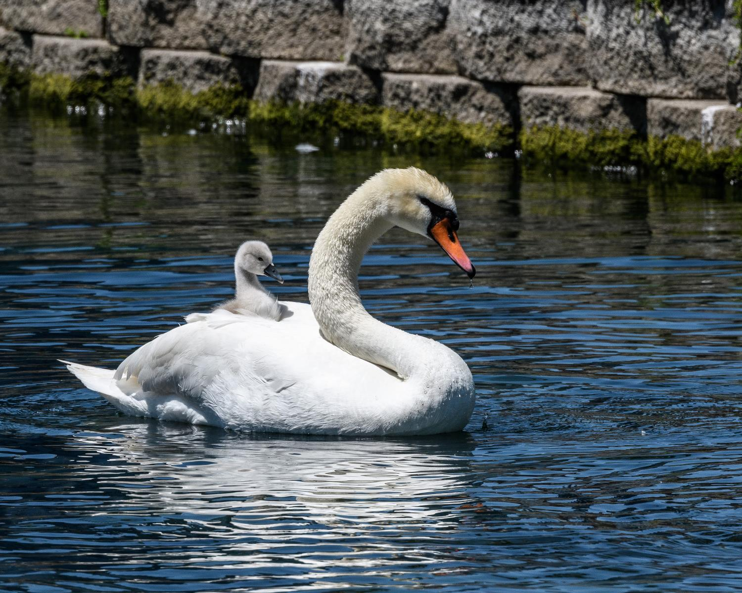 Swans by Candy Perkinson